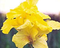 Image Canna, Yellow