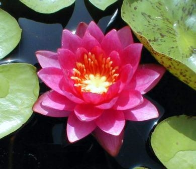 Image Water Lillies