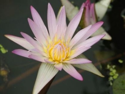 Image Madame Ganna Walska Tropical Day Blooming Lily