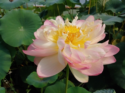 Image Mrs. Perry D. Slocum (yellow/pink) Lotus