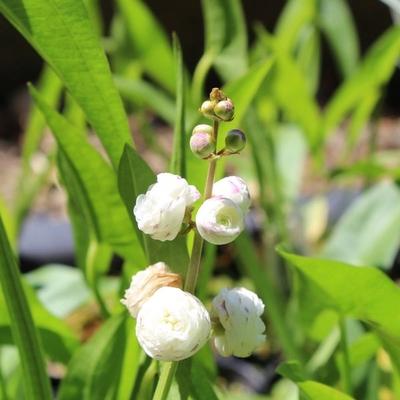 Image Double Flowering Arrowhead