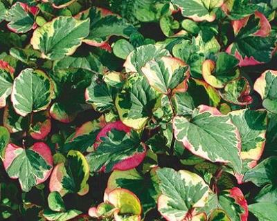 Image Chameleon Plant