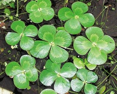 Image Four-Leaf Clover