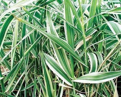 Image Variegated Giant Reed