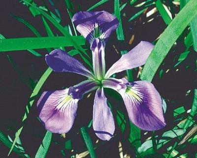 Image Iris, Blue Flag