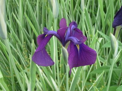 Image Iris, Japanese Variegated