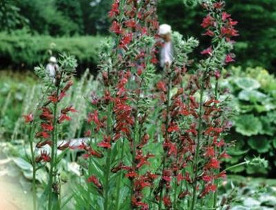Image Red Cardinal Flower