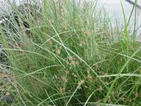 Image Umbrella Grass