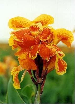 Image Canna, Orange King Humbert