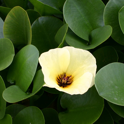 Image Water Poppy
