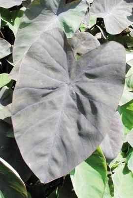 Image Black Magic Taro