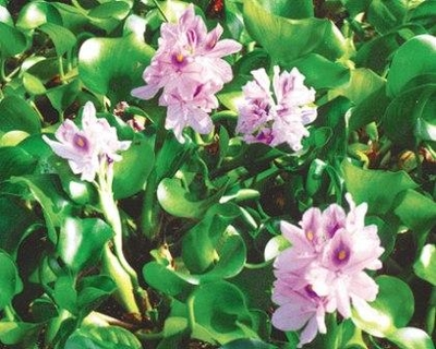 Image Water Hyacinth
