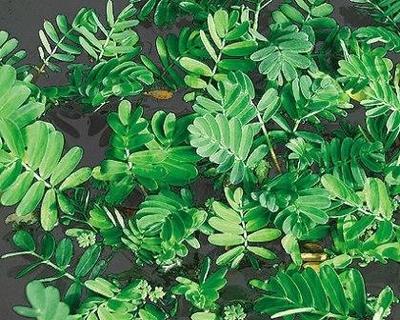 Image Giant Sensitive Plant