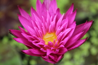 Image Miami Rose - Deep Pink / Red Tropical Water Lily