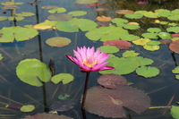 Image Ruby - Viviparous Red Tropical Water Lily