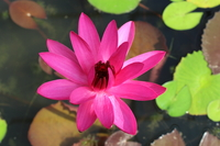 Image Red Cup - Red Night Blooming Tropical Water Lily