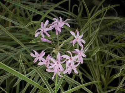 Image Variegated Society Garlic