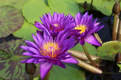 Image Tanzanite - Award Winning Tropical Waterlily